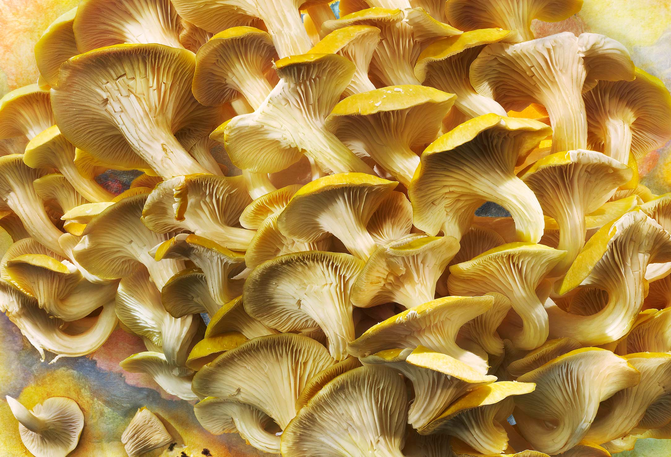 Golden Elm Mushrooms