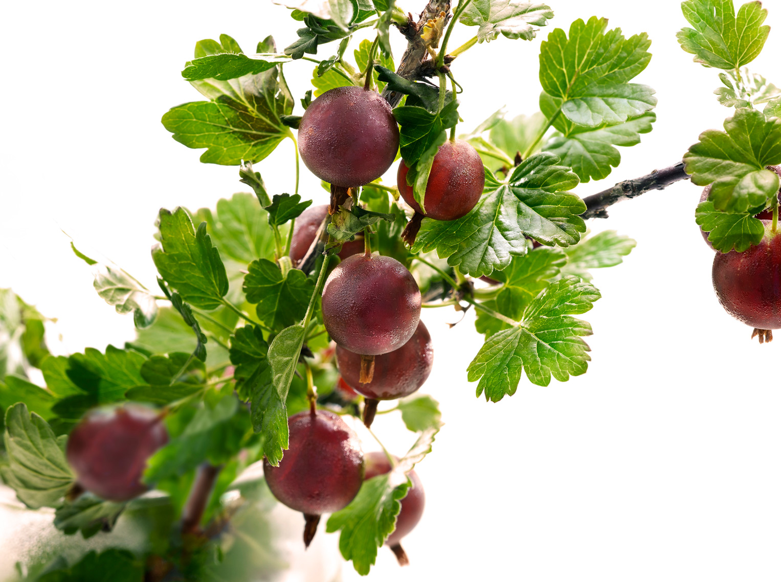 Fresh Gooseberries on a branch