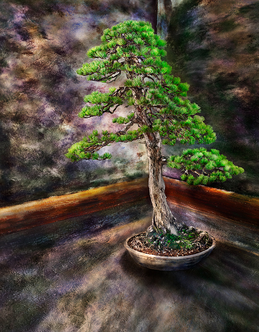 Japanese white pine Bonsai tree against a painted backdrop