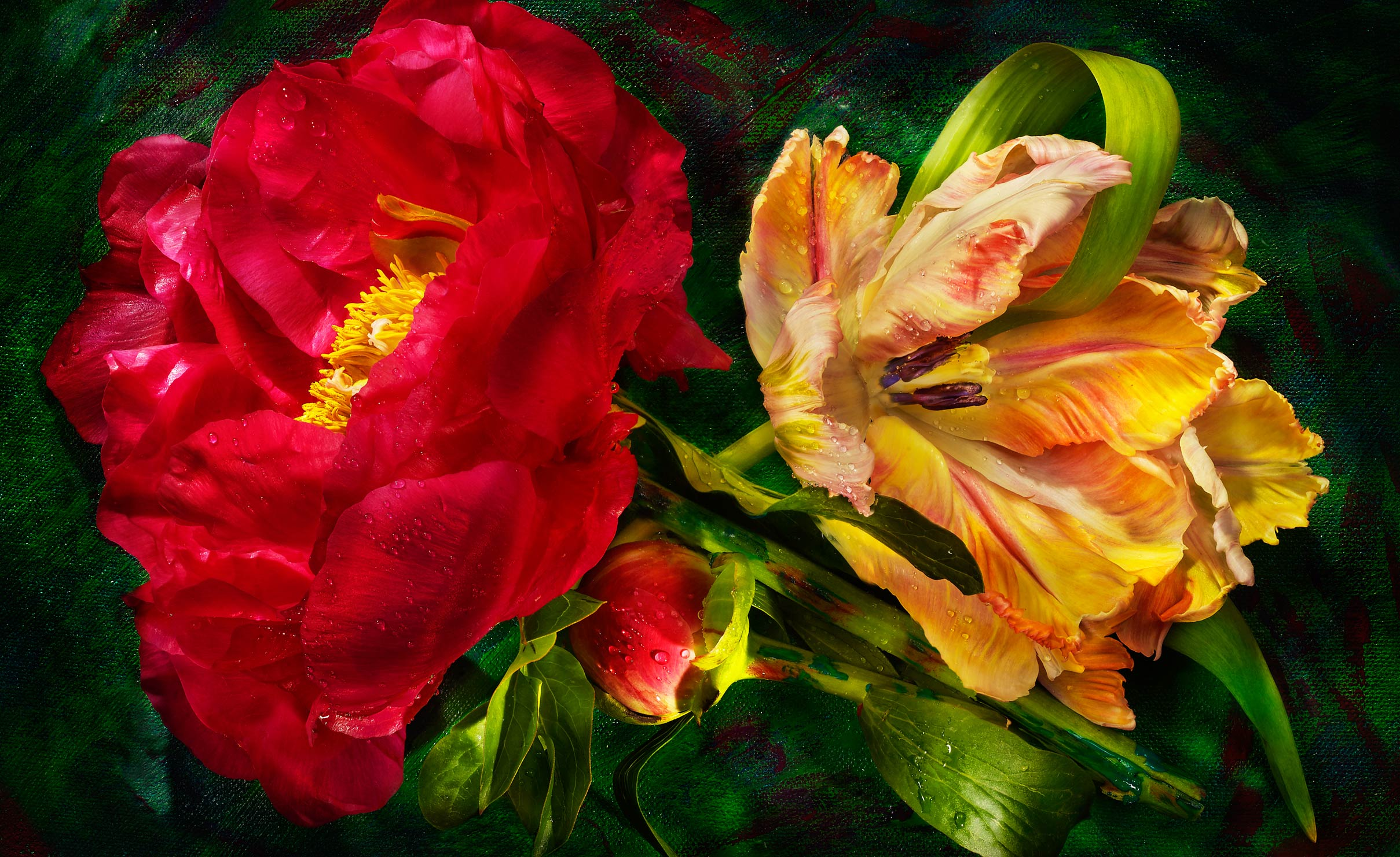 Red and yellow Parrot tulip and peony flowers shot on a painted background