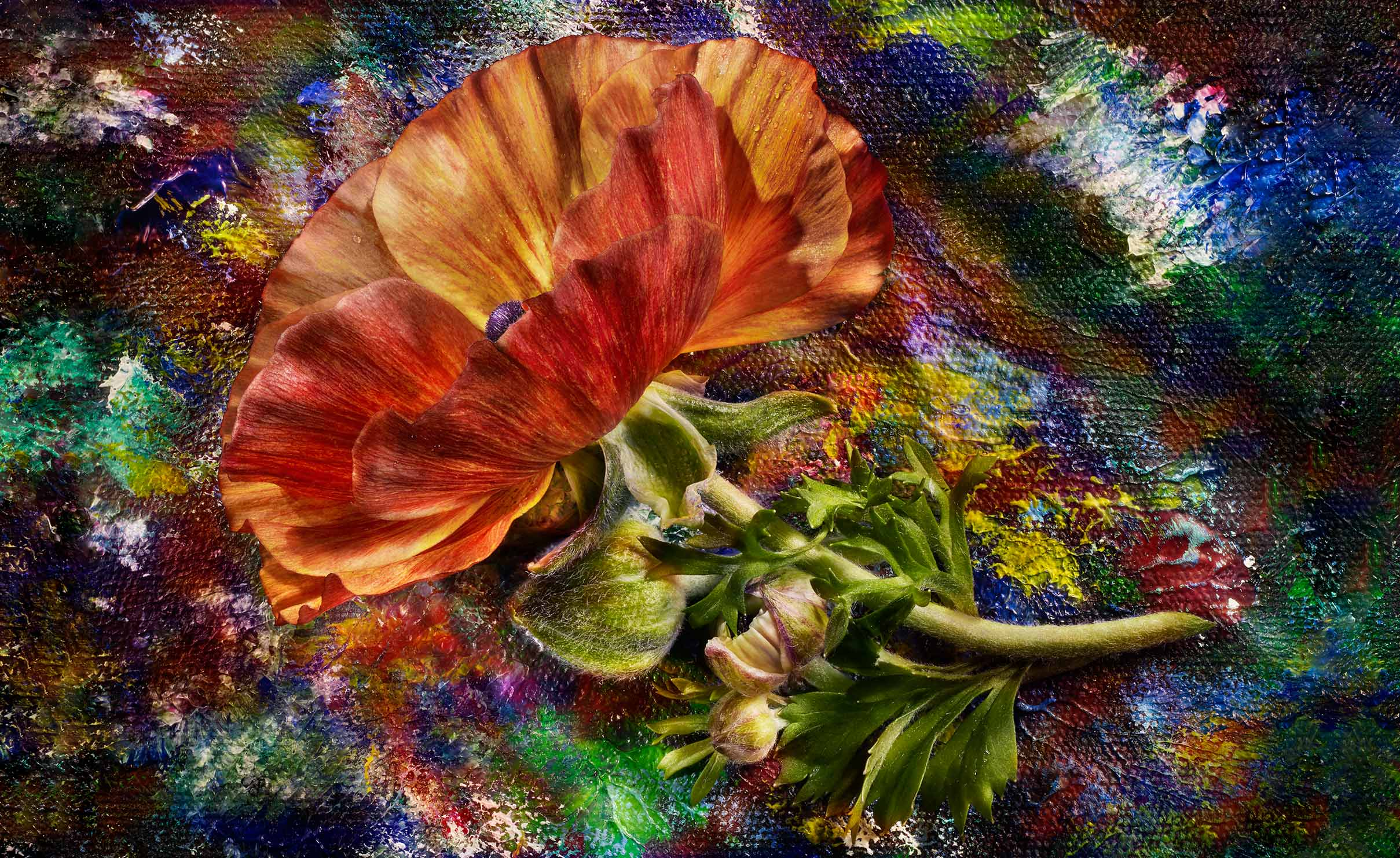 edible  painterly orange poppy flower  shot on a painted background