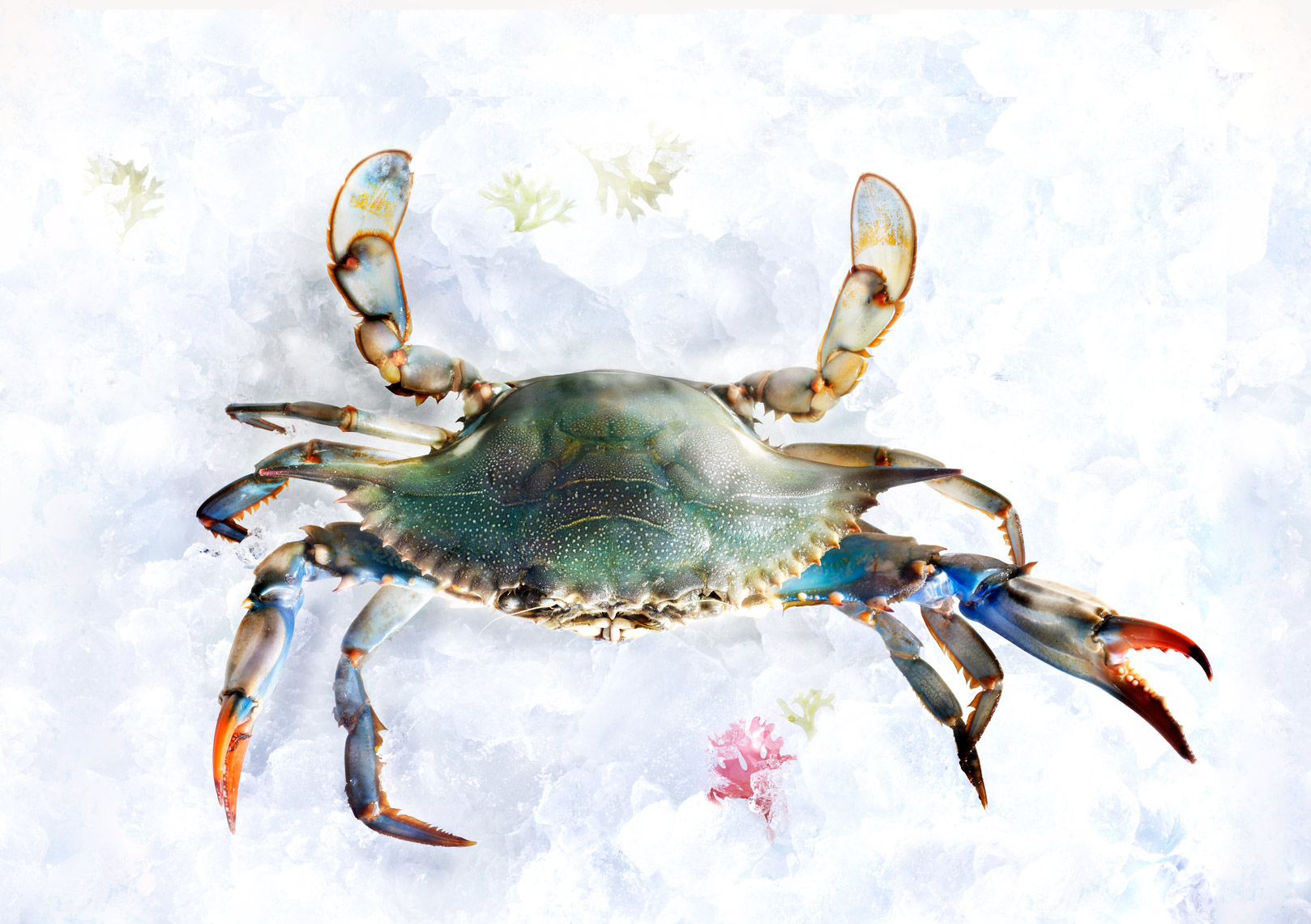Maryland Blue Crab-Live