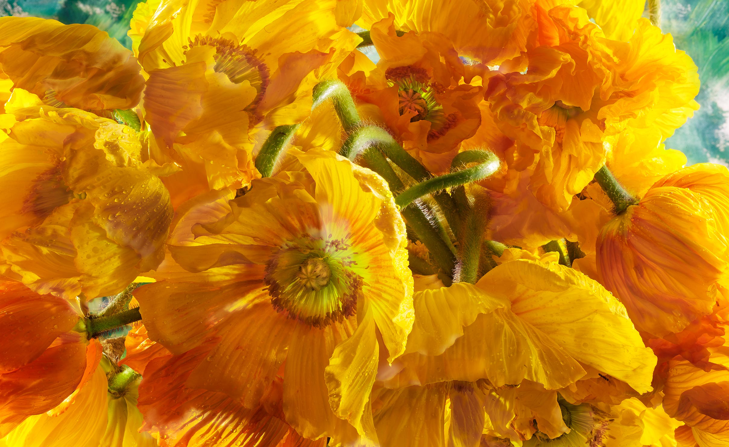 Yellow poppy flowers shot on a painted background